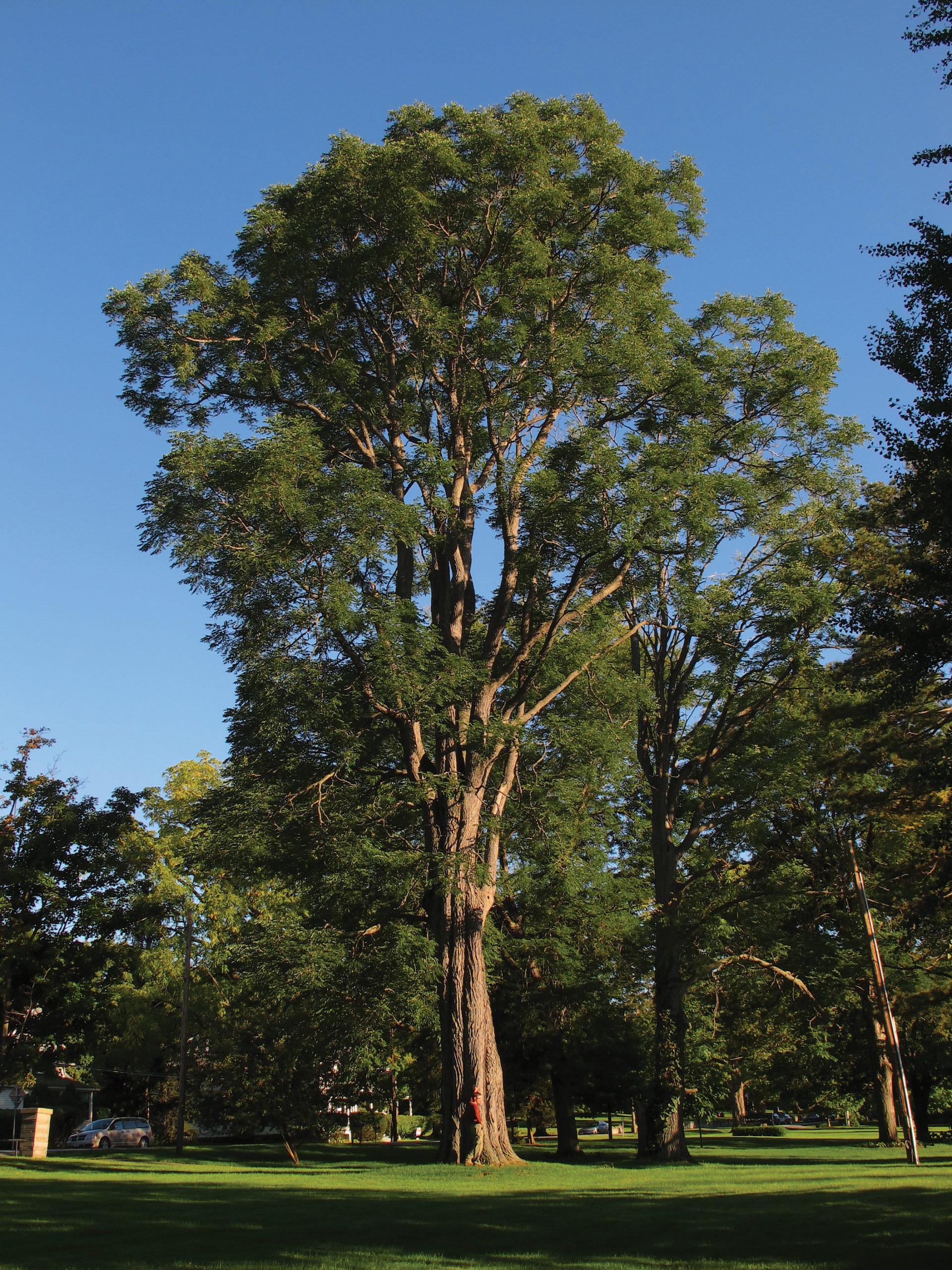 Photo of enormous Kentucky coffeetree