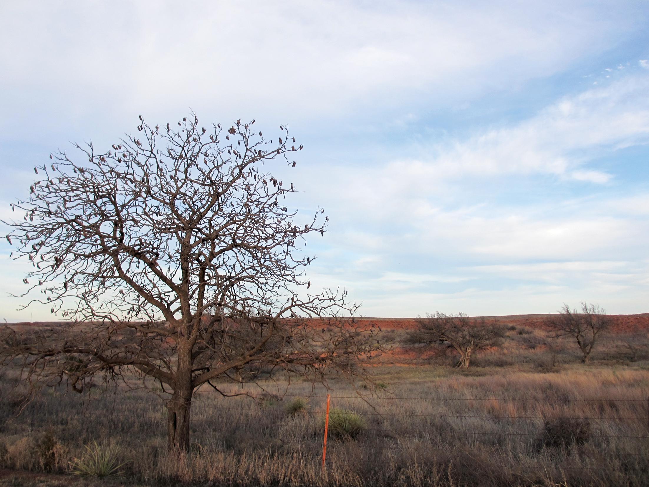 Photo of lone Kentucky coffeetree standing along open roadside