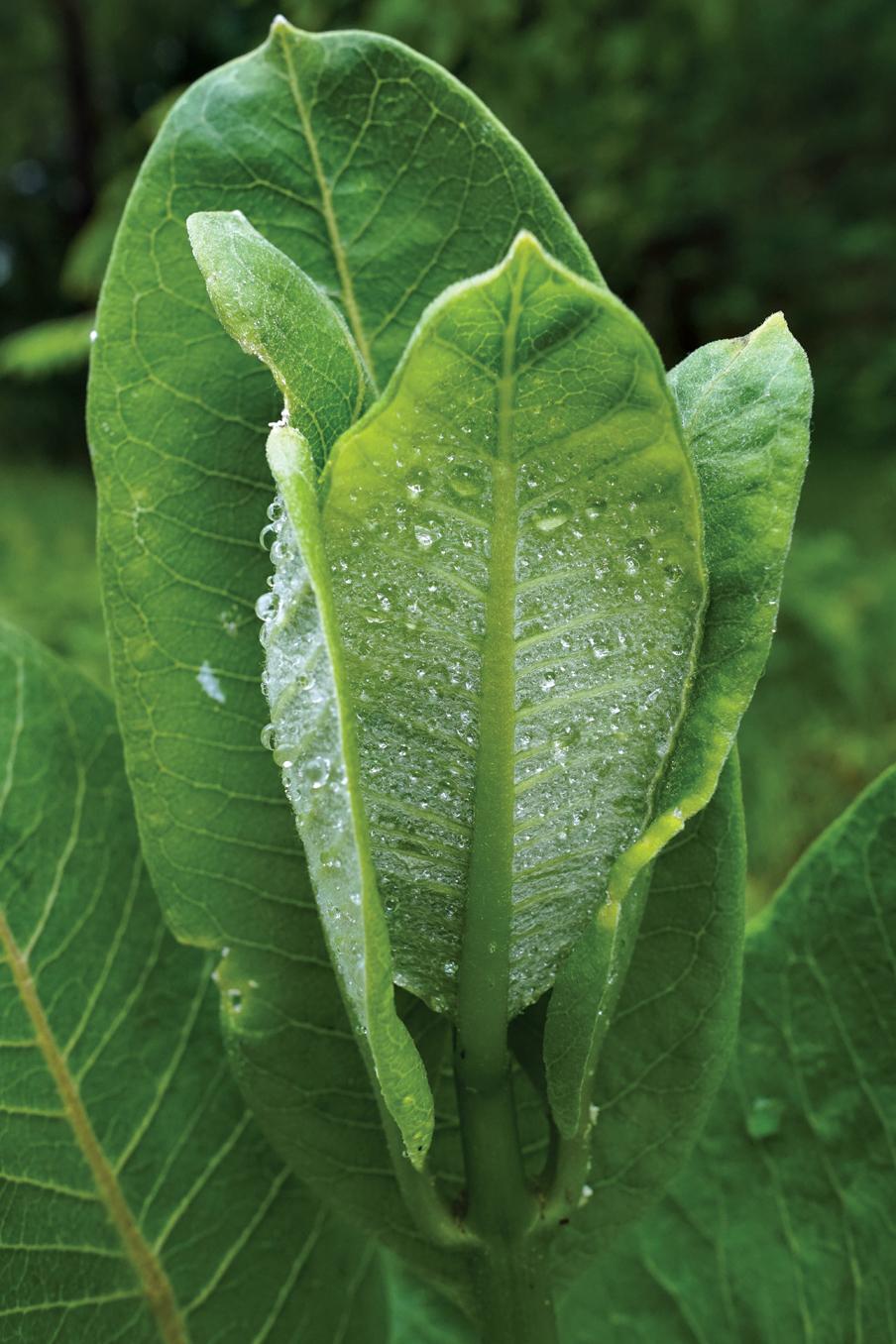 Photo of milkweed leaves