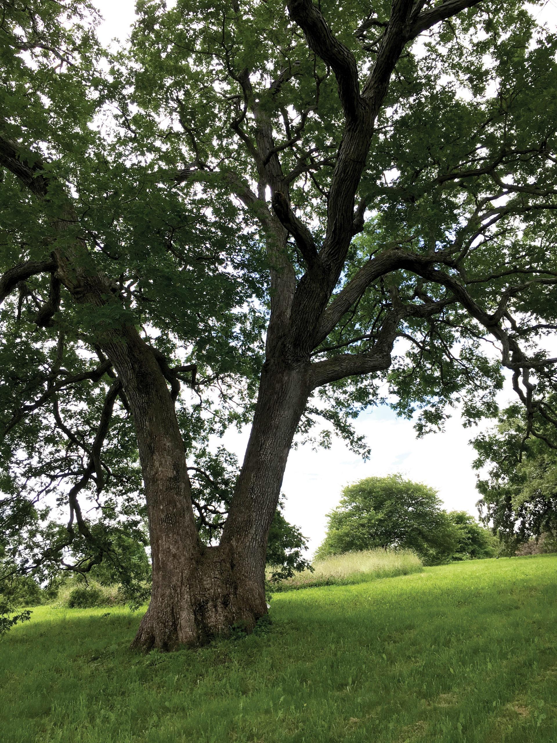 Photo of large white oak