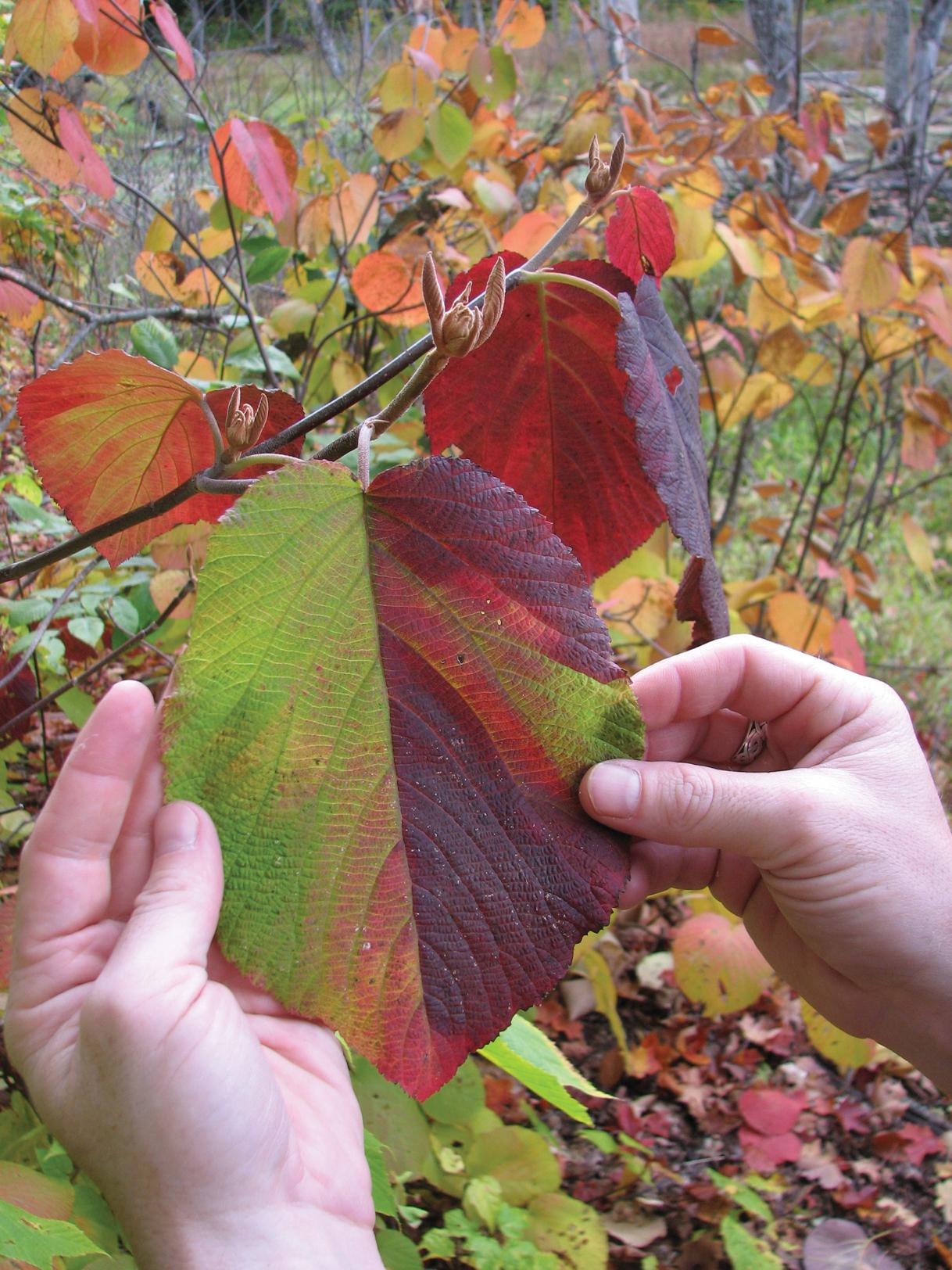 Dark purple and green fall color of viburnum