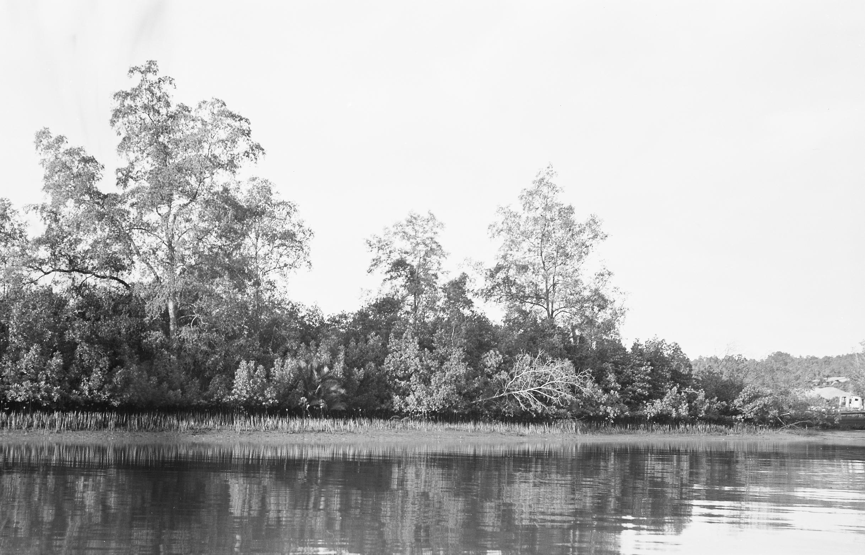 Black-and-white photo of mangroves