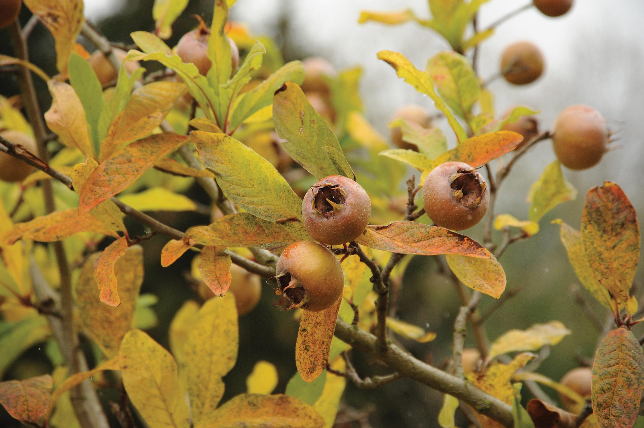 Ripe medlar fruit on branch in autumn