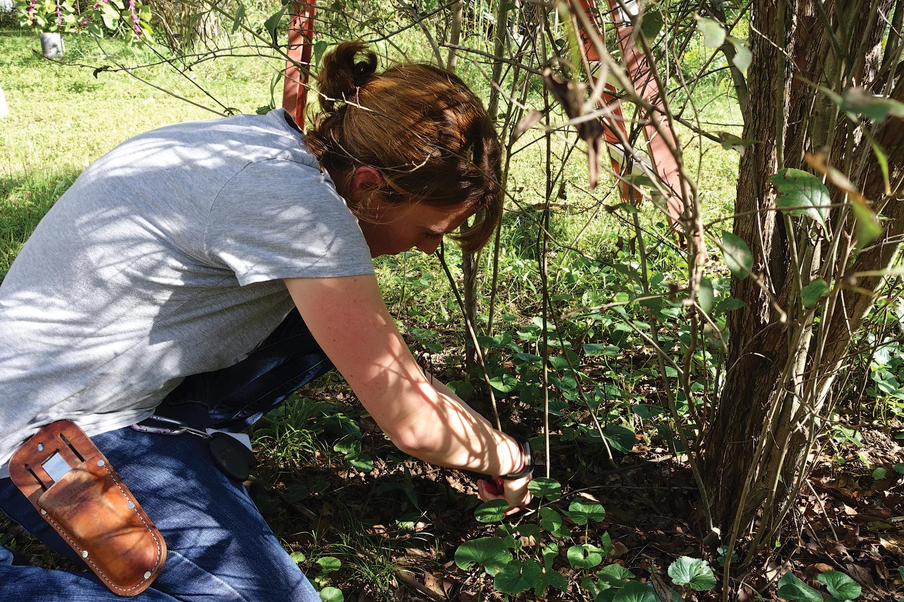 Tiffany Enzenbacher harvesting suckers of the Stern's medlar