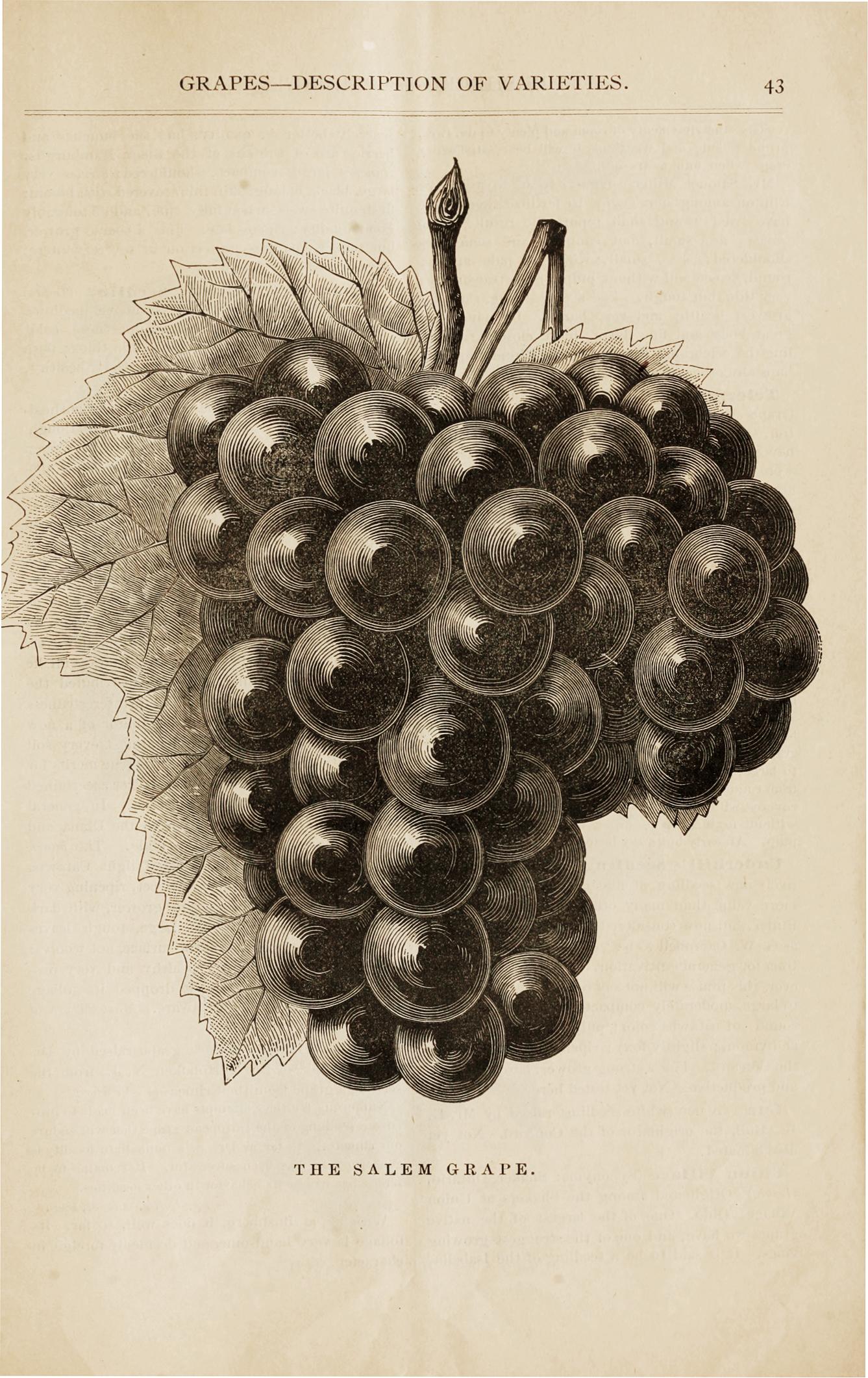 Black-and-white catalog illustration of grapes