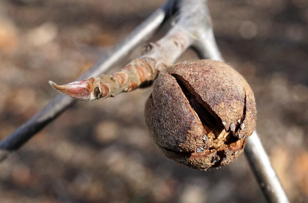 Seed capsure of Franklinia alatamaha