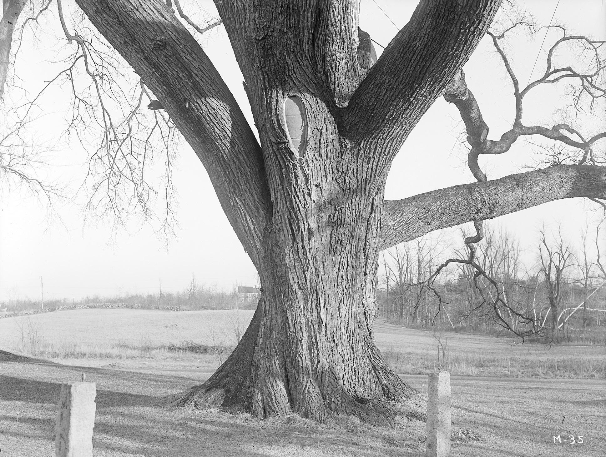 The trunk of the Rugg or Gates Elm *I*(Ulmus americana)*/I* in Framingham, Massachusetts.