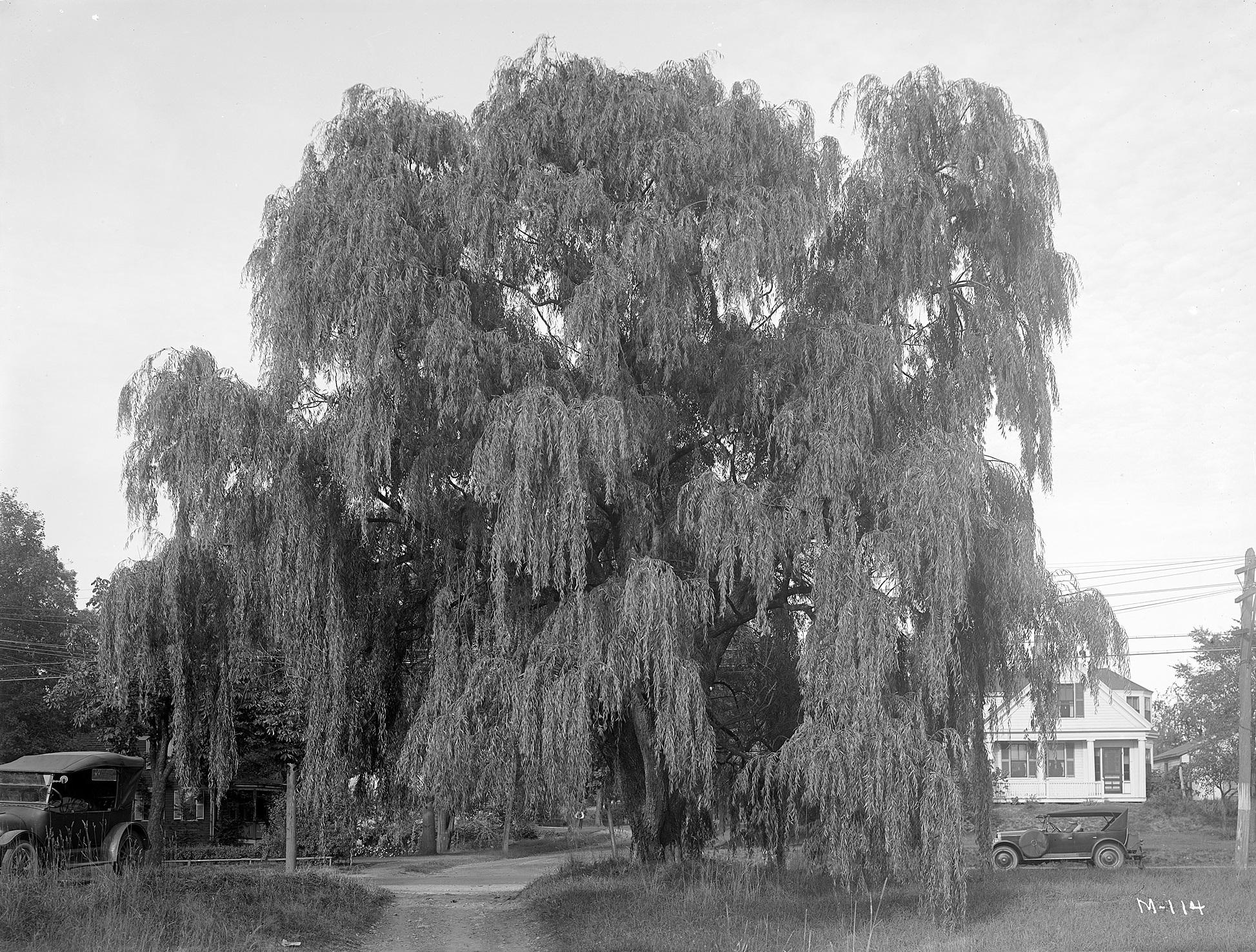 A *i*Salix blanda*/i* in Foxboro, Massachusetts.