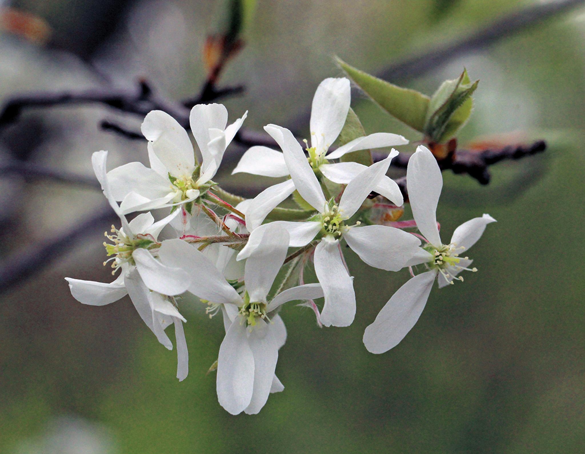 Amelanchier arborea22805-C by Suz Mrozak