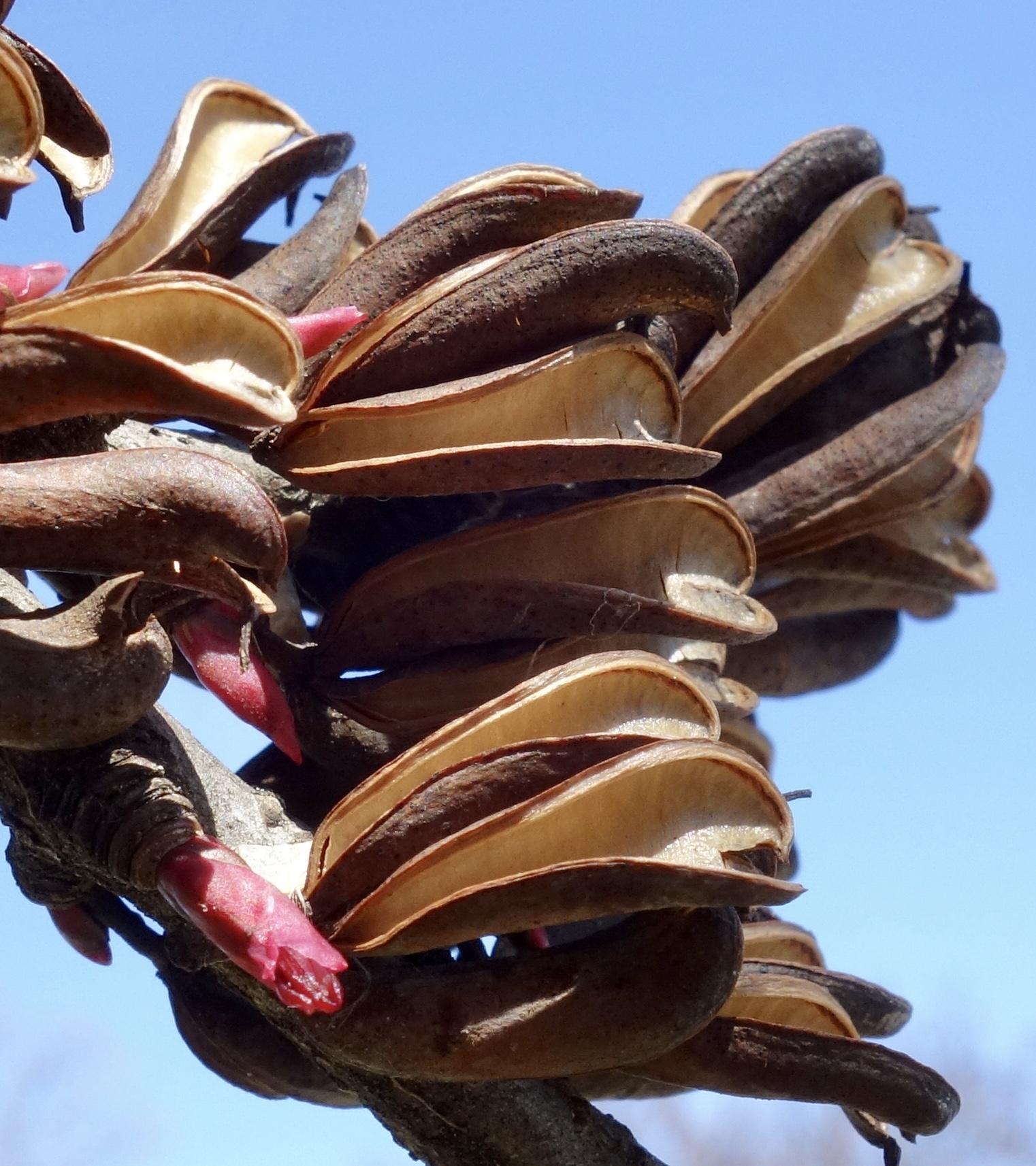 Close-up of katsura fruit