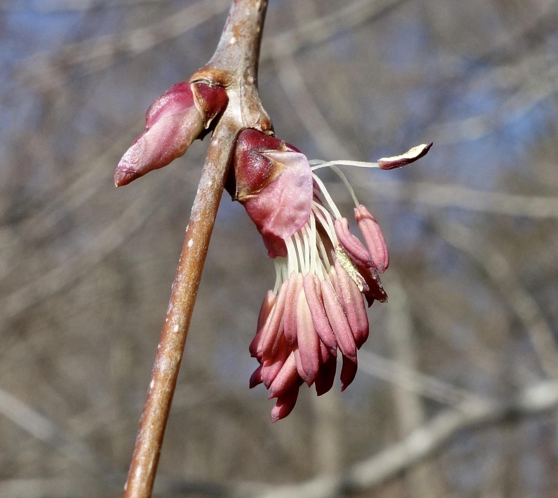 Closeup of male katsura flowers