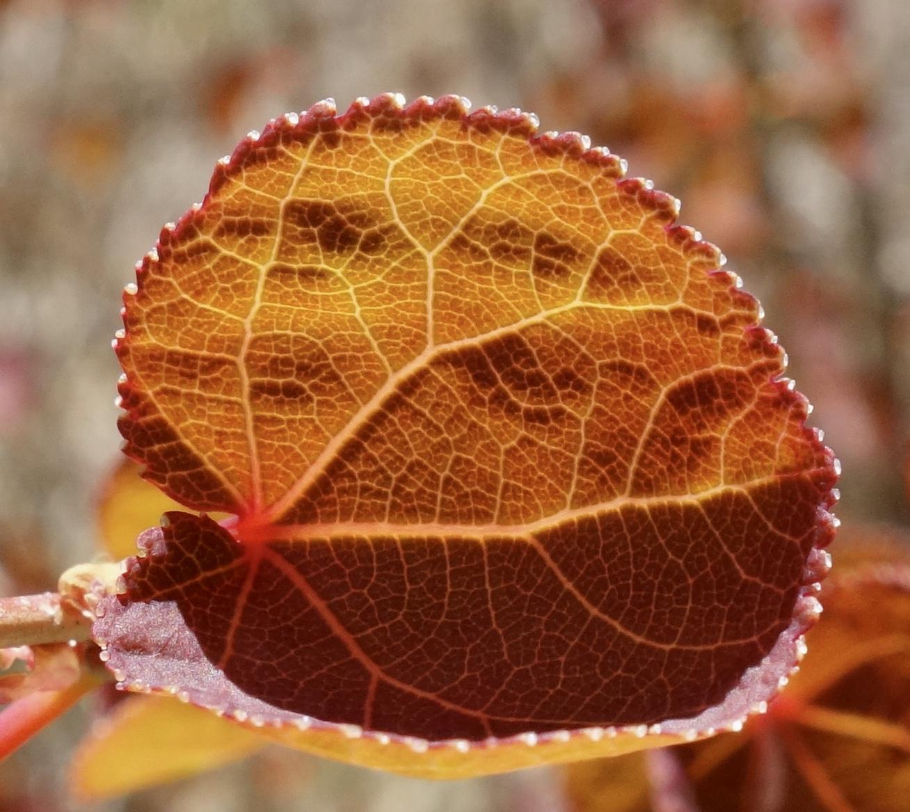 Spring leaves of katsura