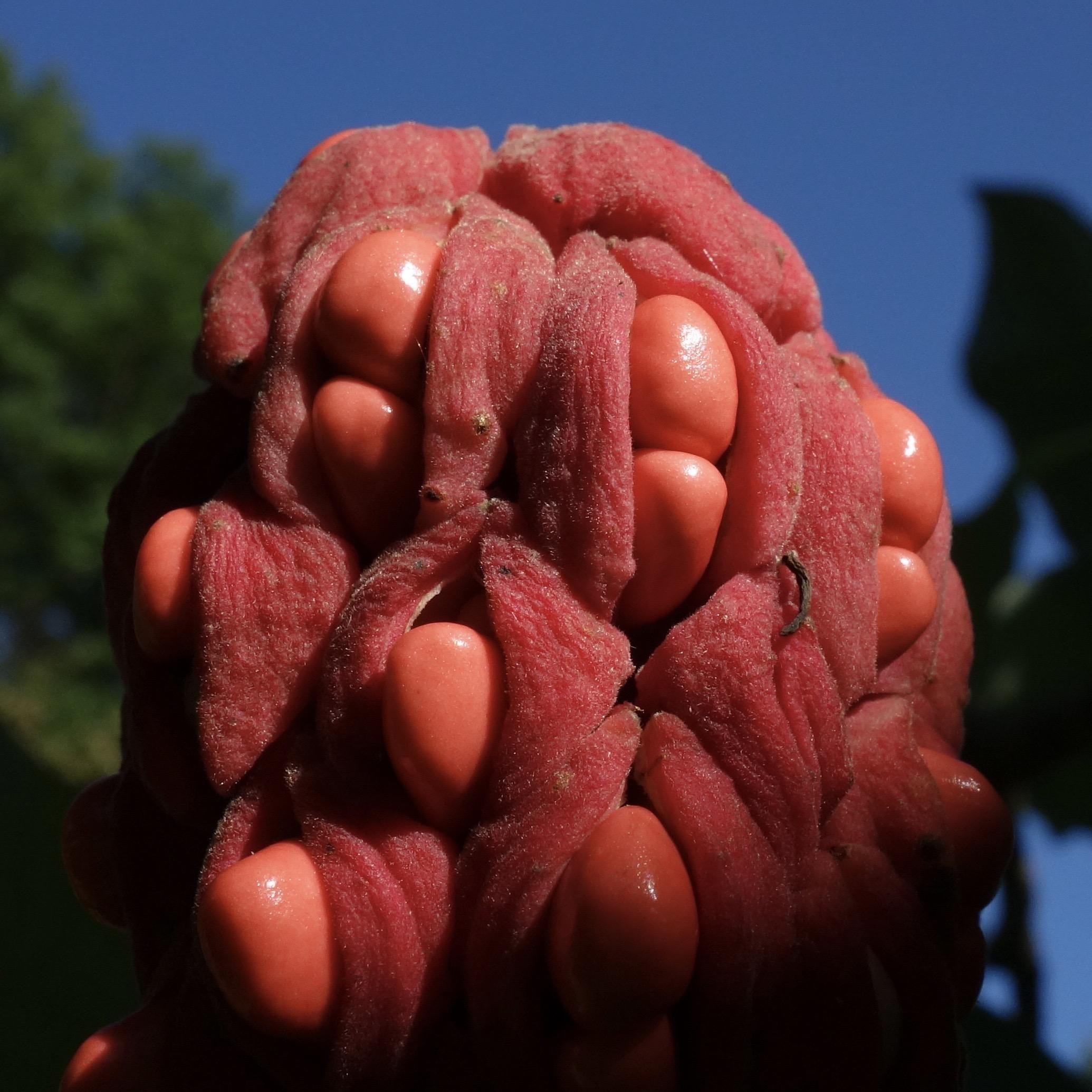 Magnolia macrophylla opening fruit