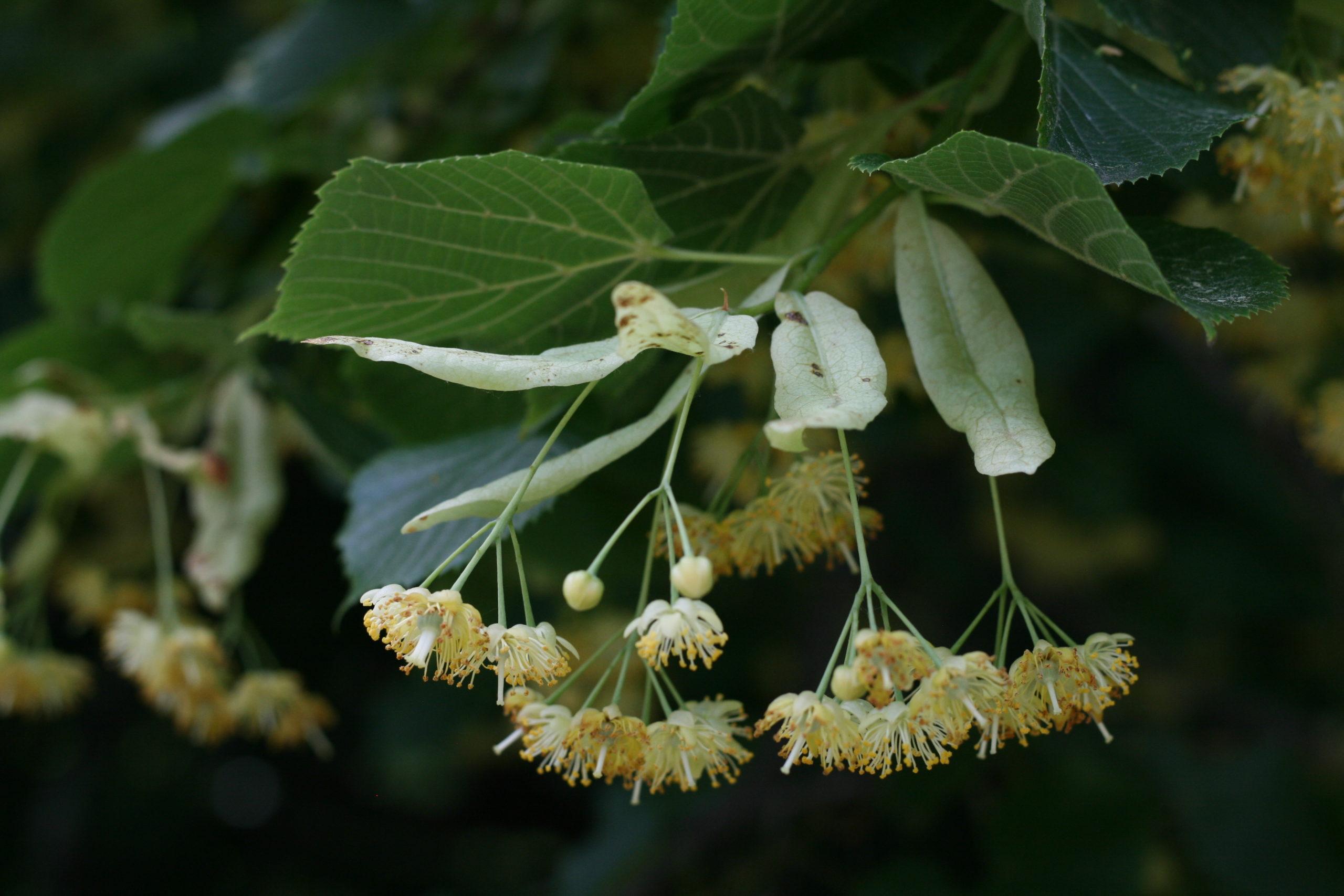 Flowers of Tilia platyphyllos