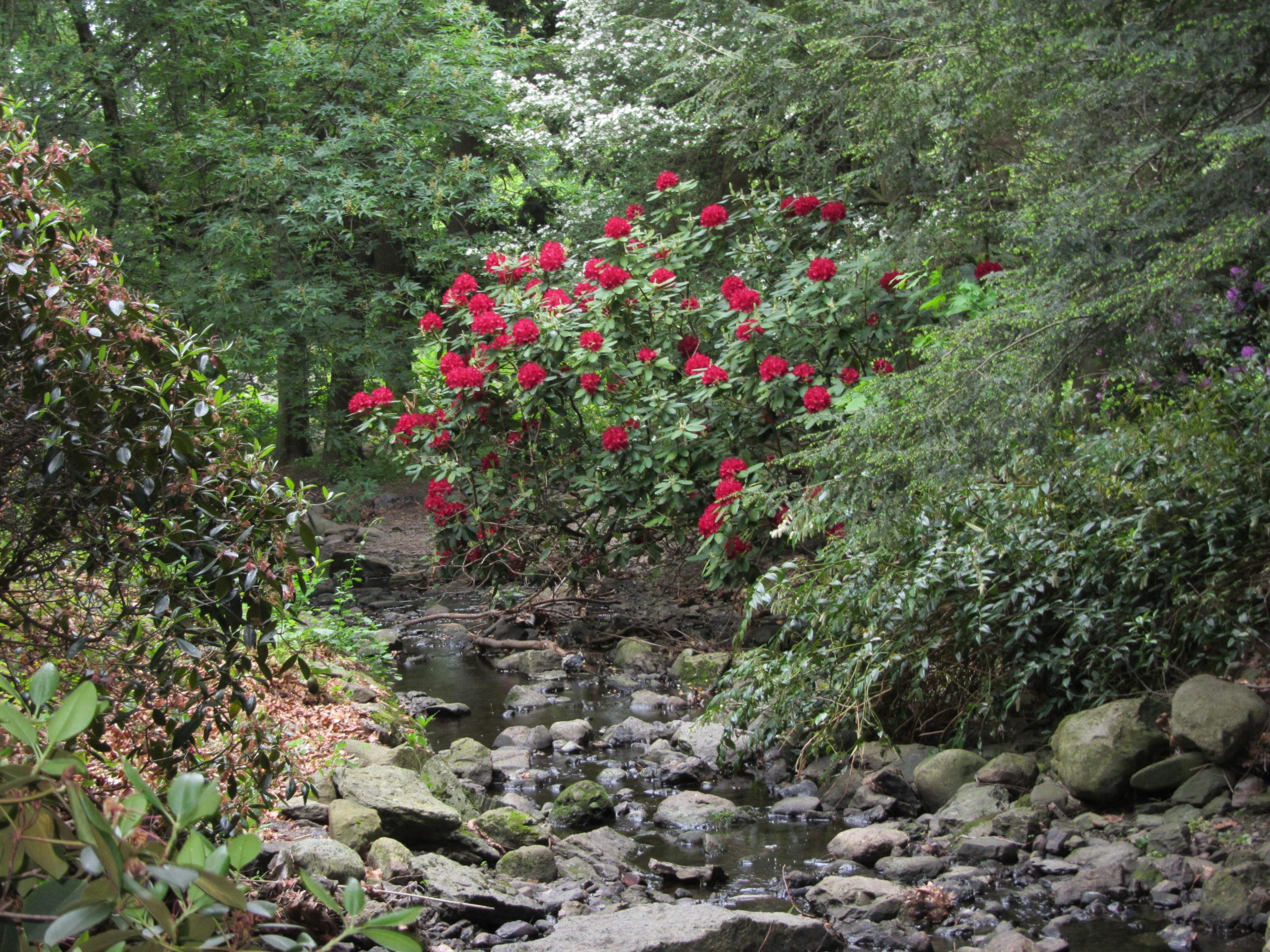Rhododendron 'Francesca'