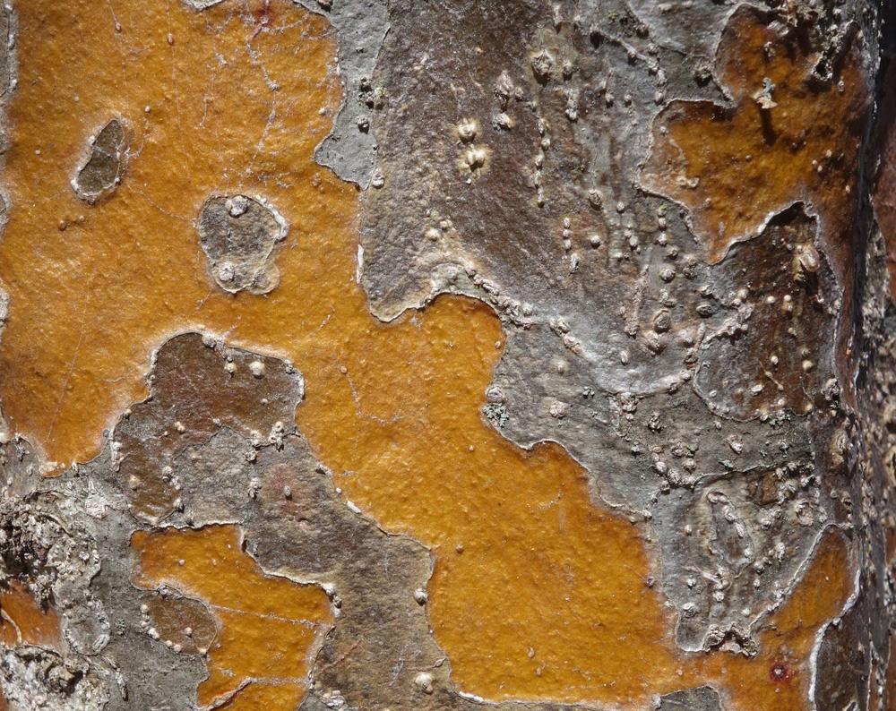 Colorful, gray-brown mottled bark.