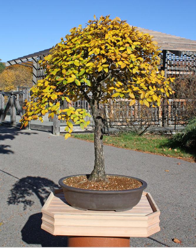 Cedar elm bonsai