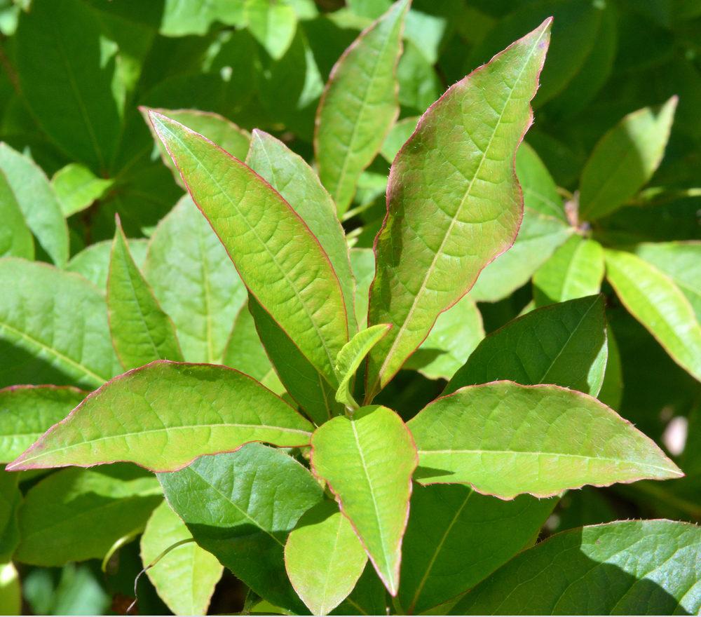 Narrow leaves arranged in whorls.