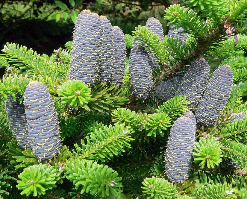 Cones of Abies koreana