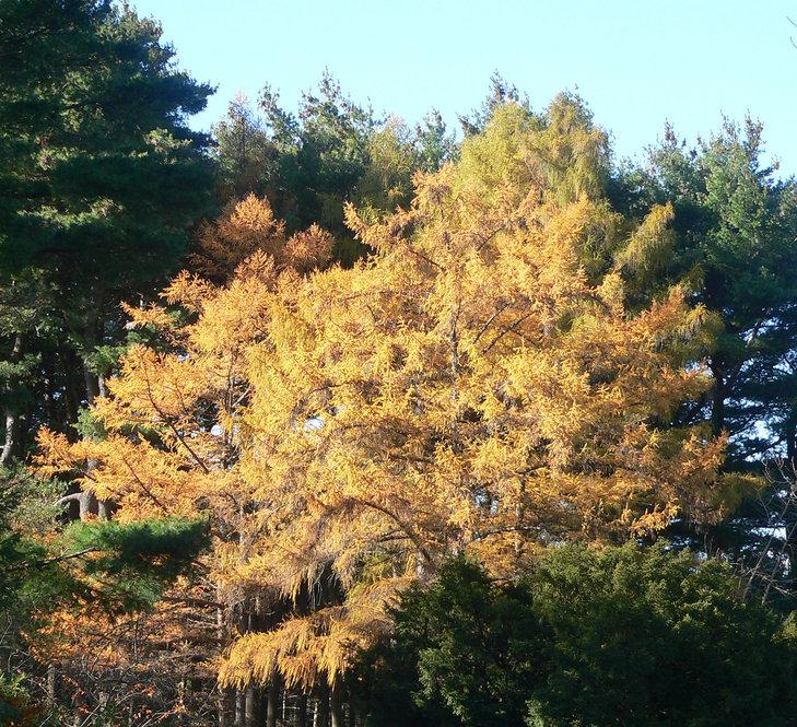 Larch in autumn