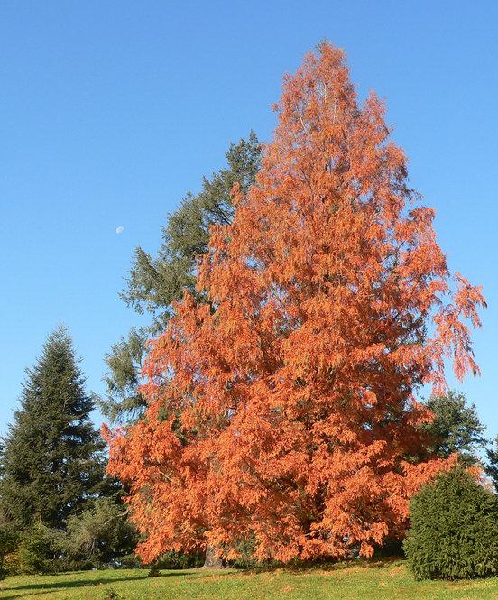 Dawn Redwood with autumn foliage