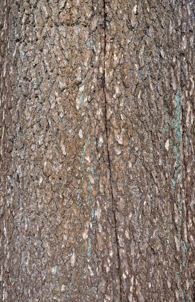 Scaly dark-gray bark.