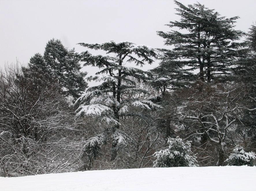 Cedar of Lebanon in winter