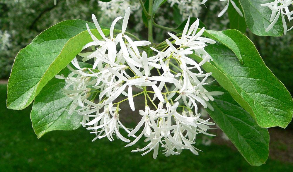 Flowers of Fringetree