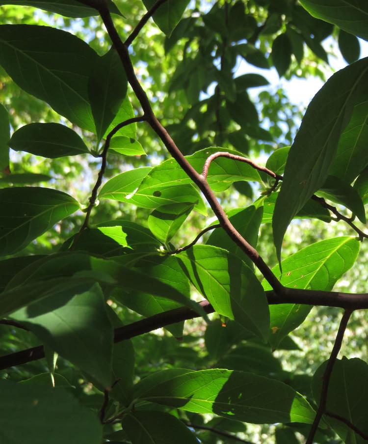 Ovate, simple leaves.