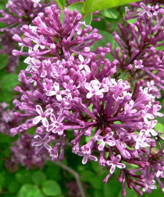 Litteleaf Lilac (Syringa pubescens ssp. microphylla)