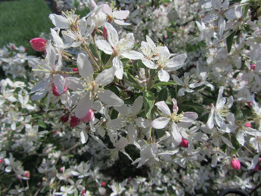 Malus x zumi (variant) in flower