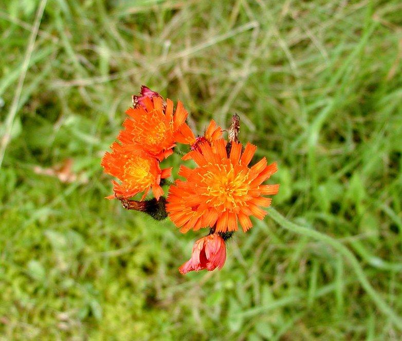 Orange hawkweed (Pilosella aurantiaca)