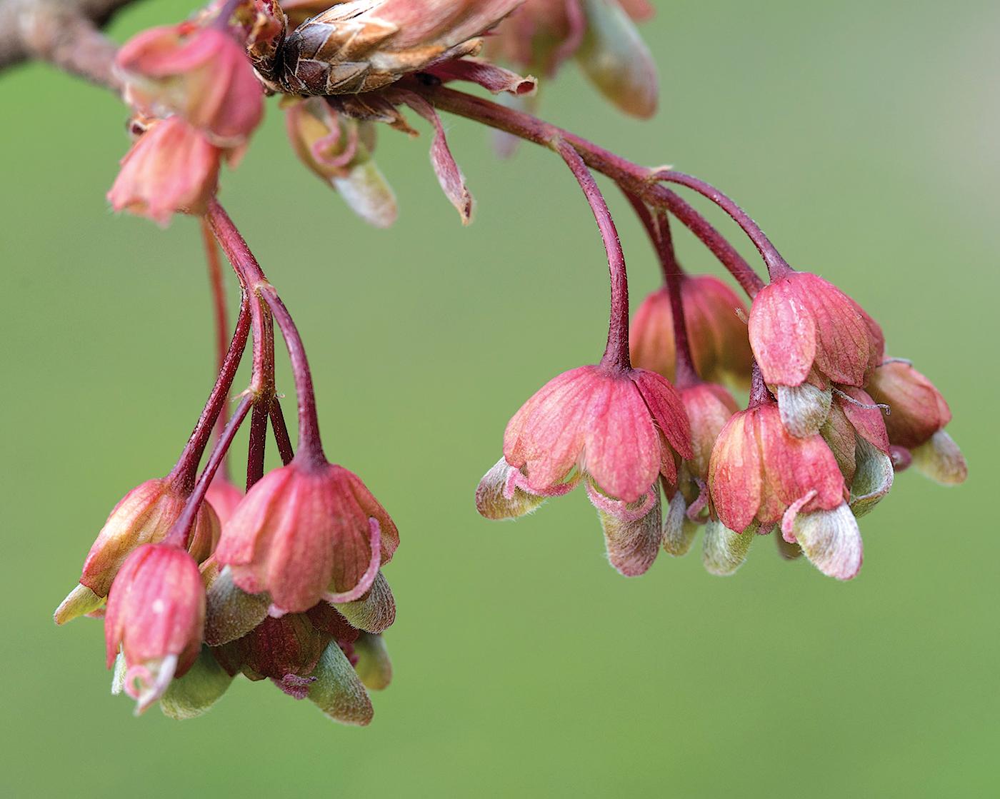 Flowers of horned maple