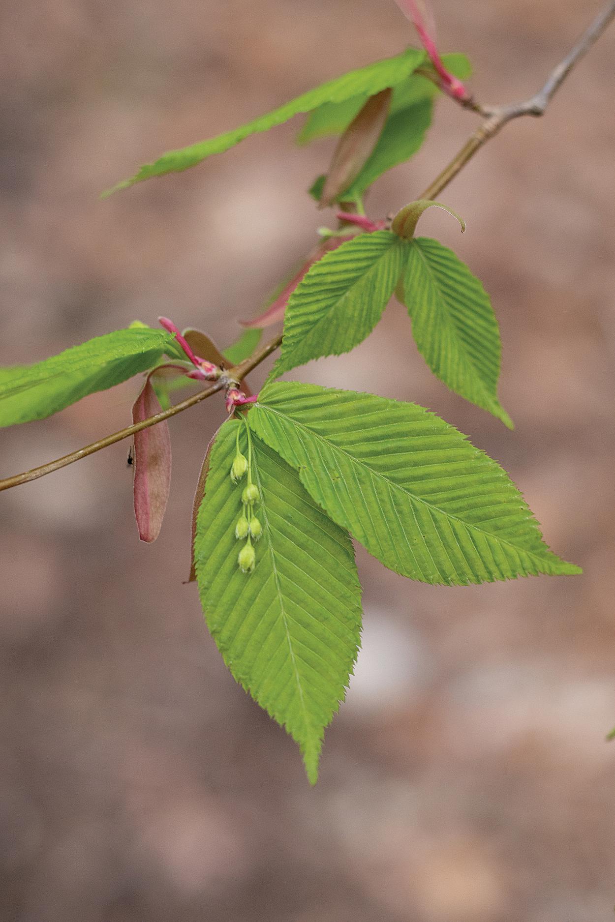 Flowers and emerging leaves of hornbeam maple