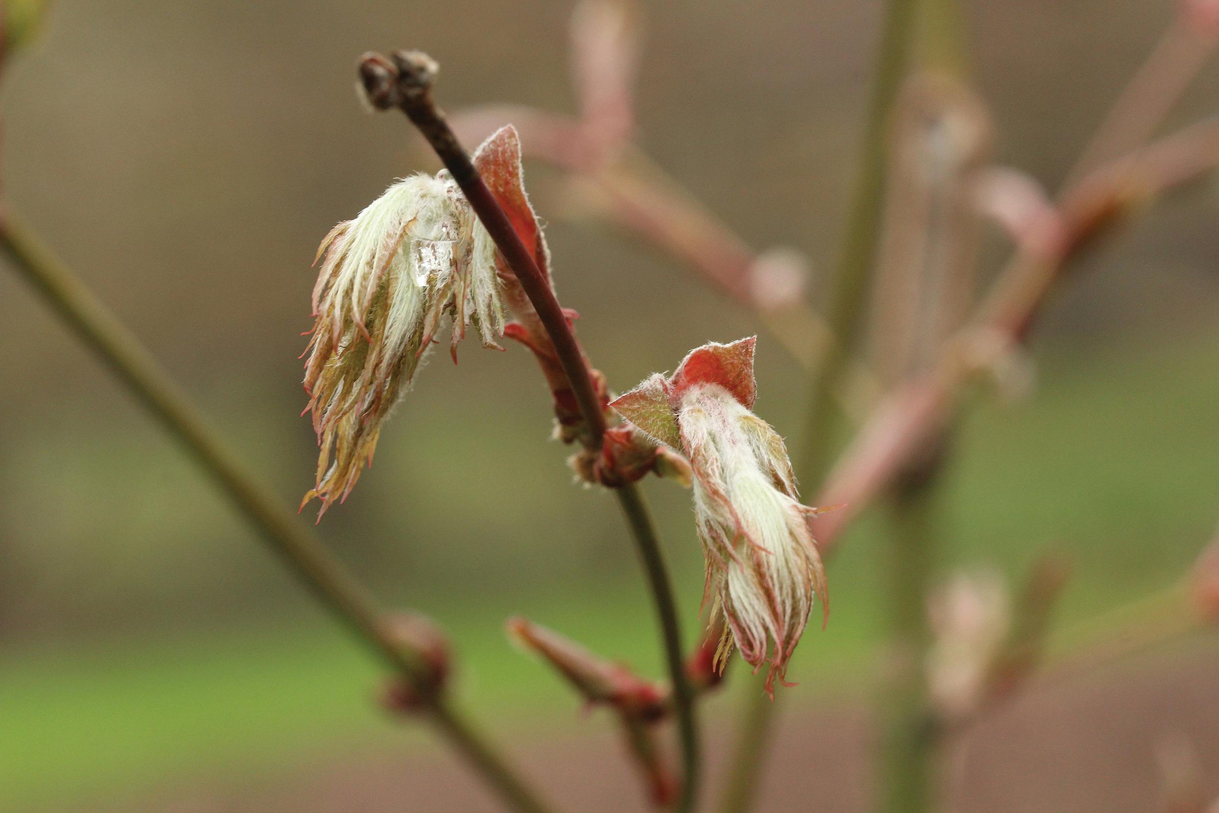 Emerging leaves of Acer ceriferum