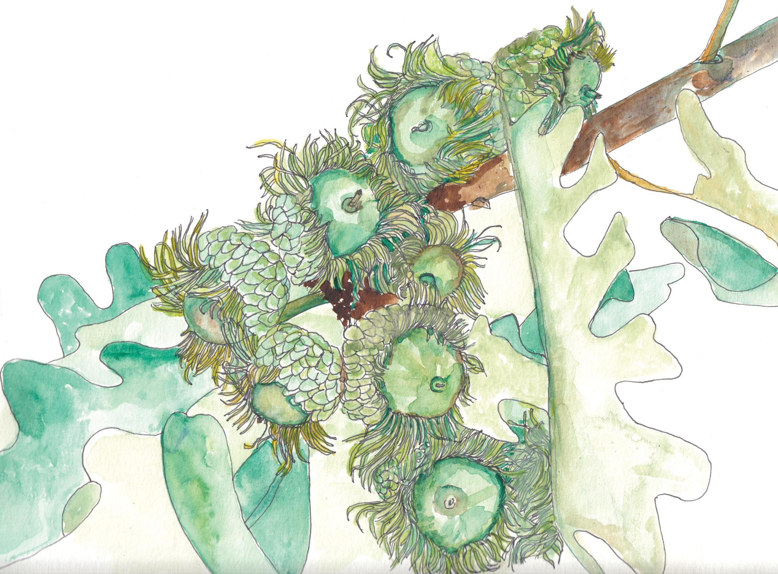 Watercolor and ink illustration of bur oak acorns