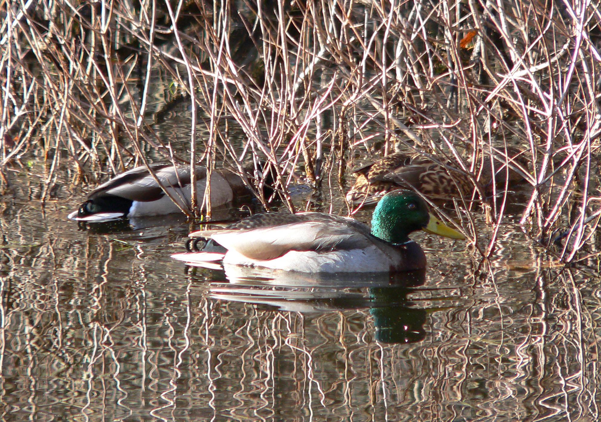 Mallard ducks in Faxon Pond