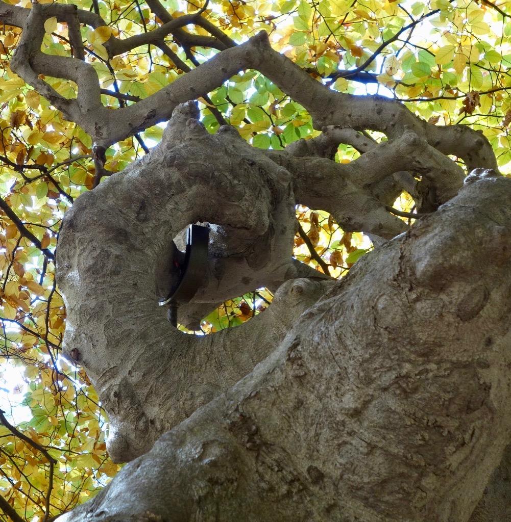 Spiraling trunk of Fagus sylvatica 'Tortuosa'