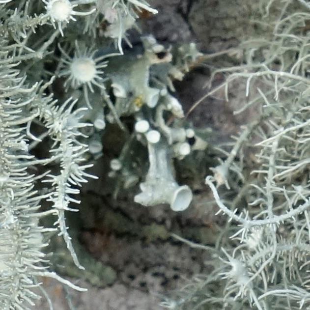 Closeup of Ramalina sp. lichen
