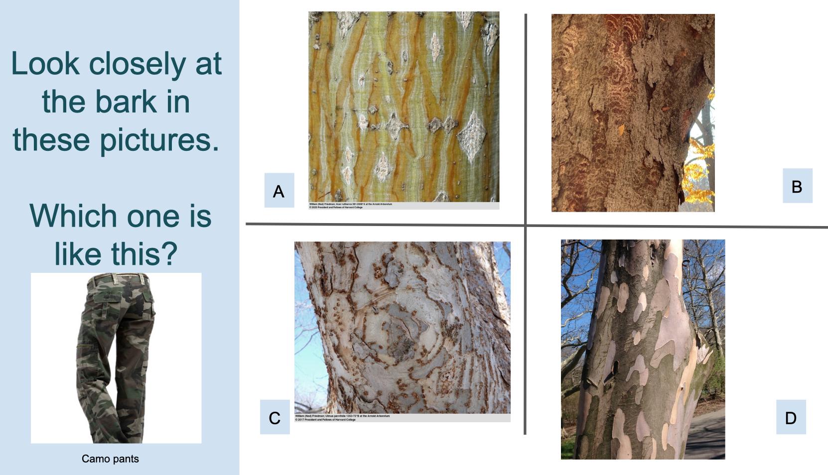 Sample Google Slide for Tree Bark deck showing four different bark and camouflage pants image.
