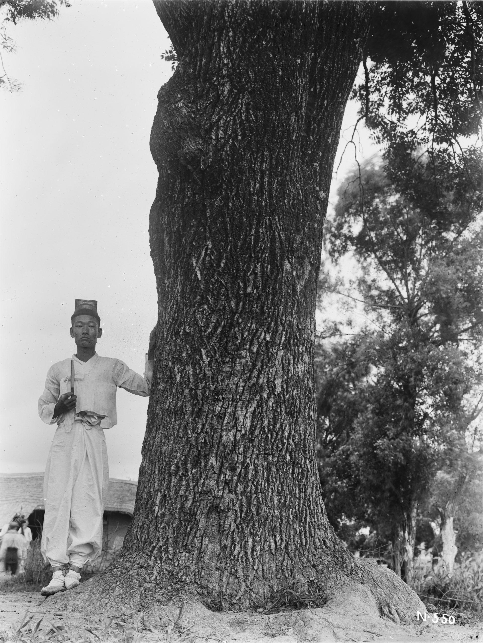 A man holding a fan stands beside a large Manchurian ash (Fraxinus mandshurica). Photograph by Ernest Wilson in July 1918 near Mochuri, Korea.