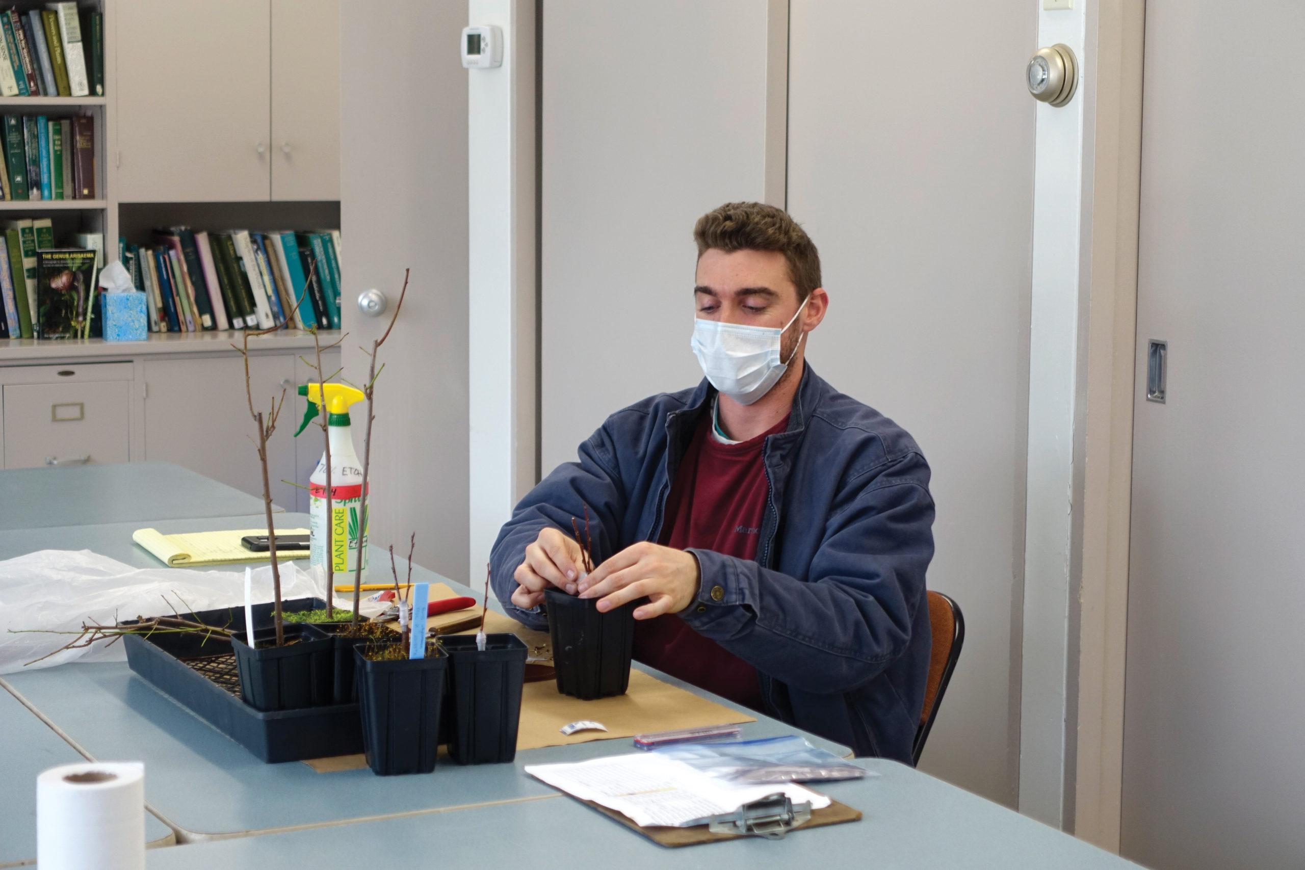 Photograph of masked horticulturist preparing grafts