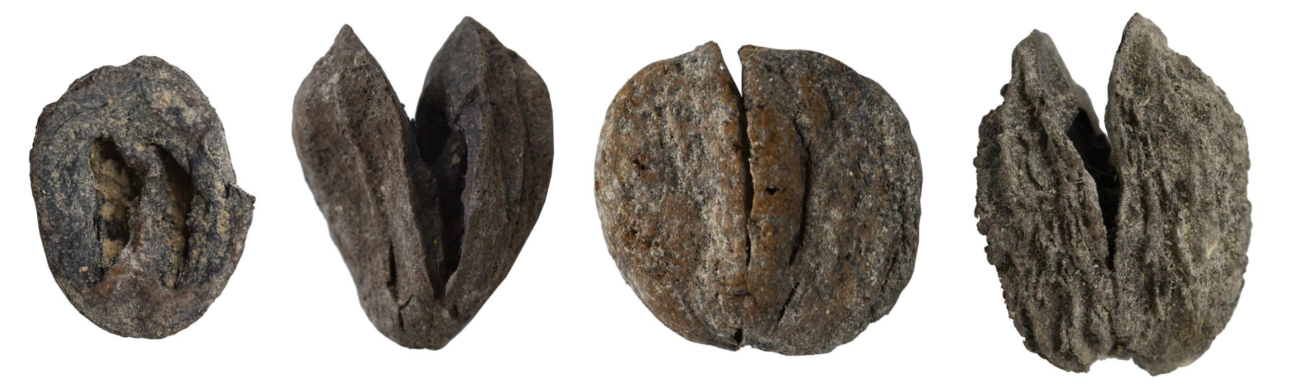 Four fossilized hickory fruits