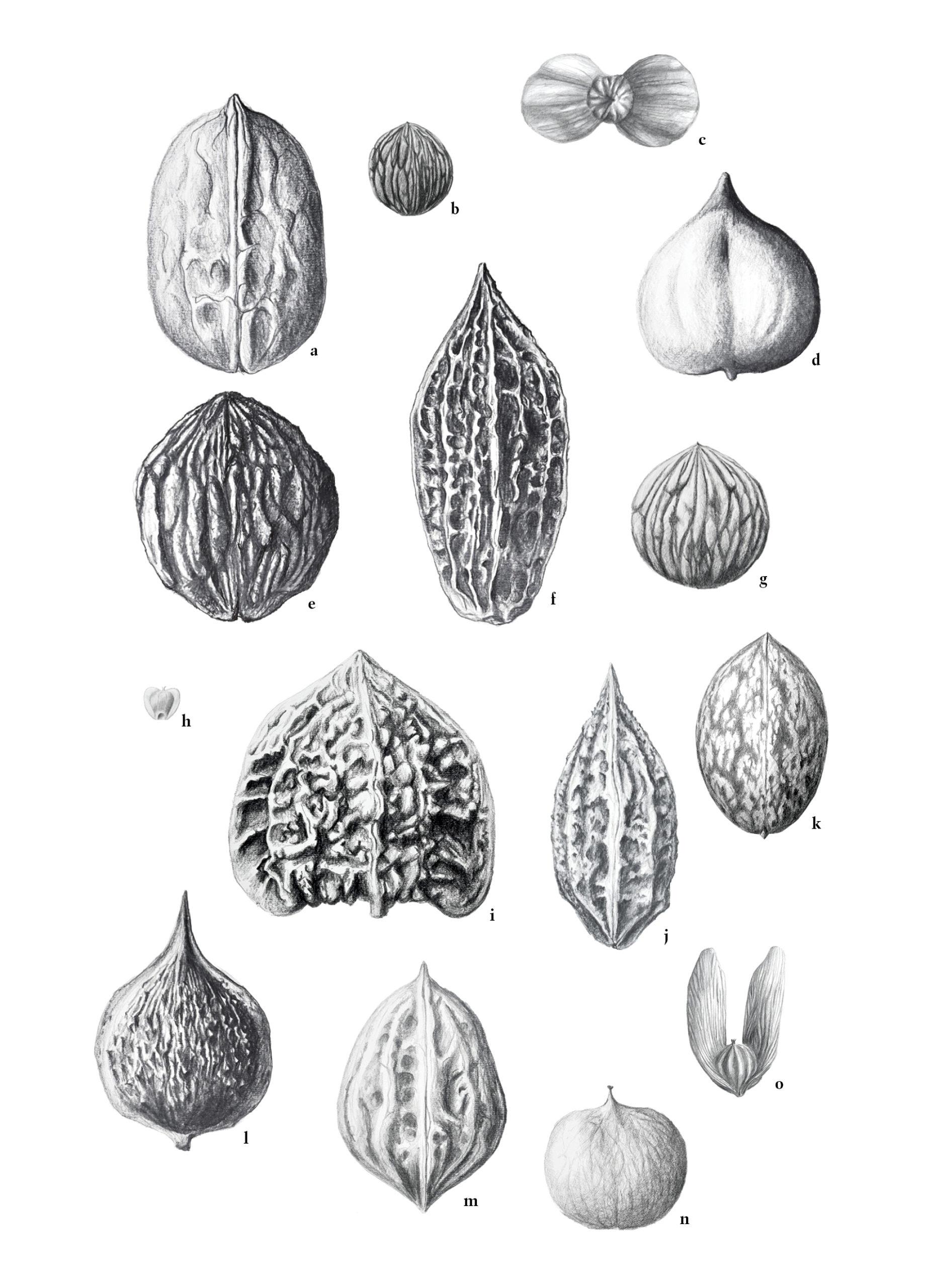 Handdrawn illustrations of walnut-family fruits