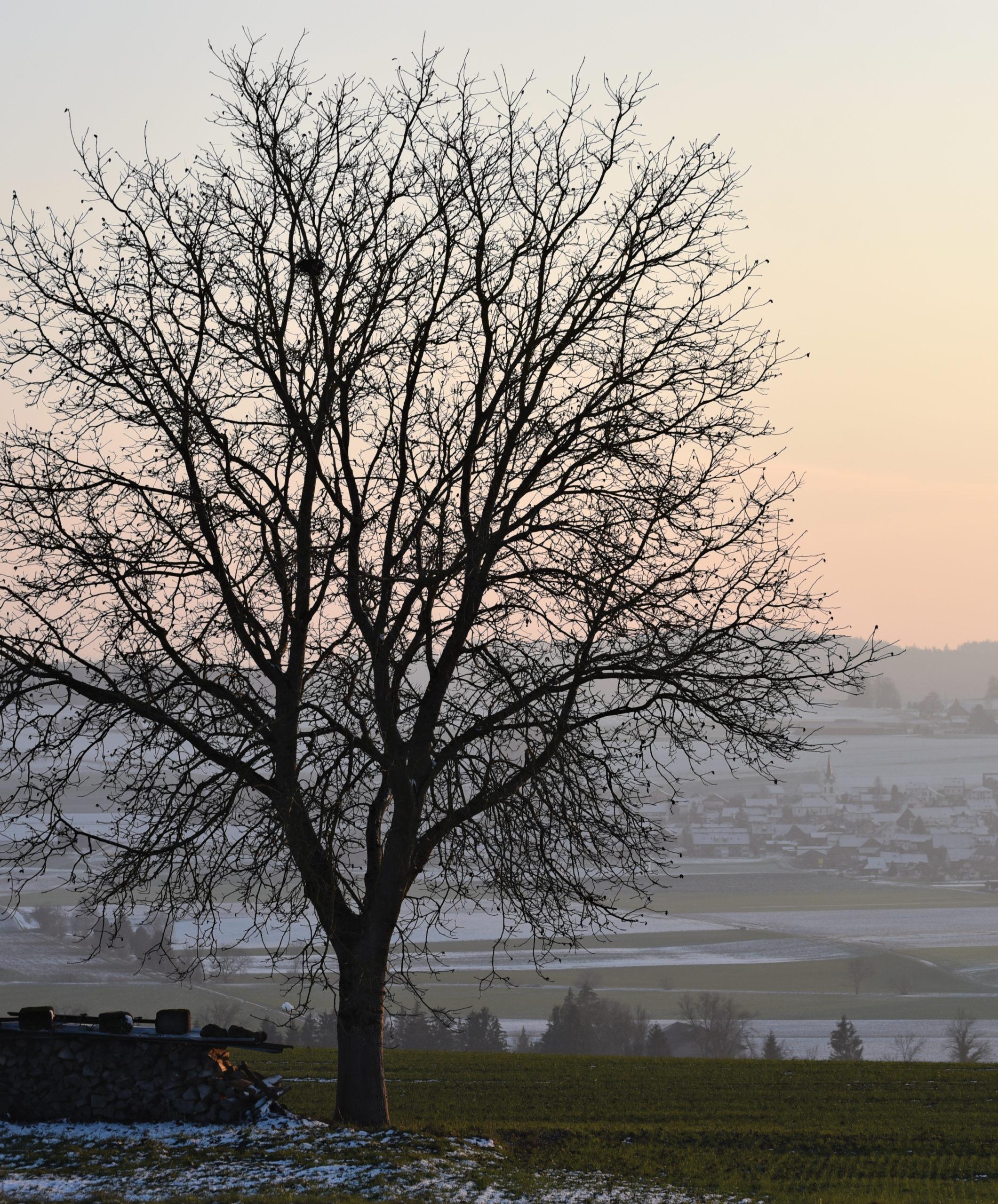 Photograph of walnut tree backlit with misty sunrise