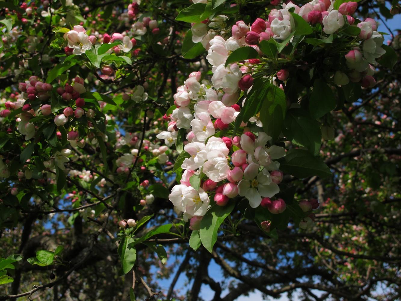 Flowers of Malus 'Donald Wyman'