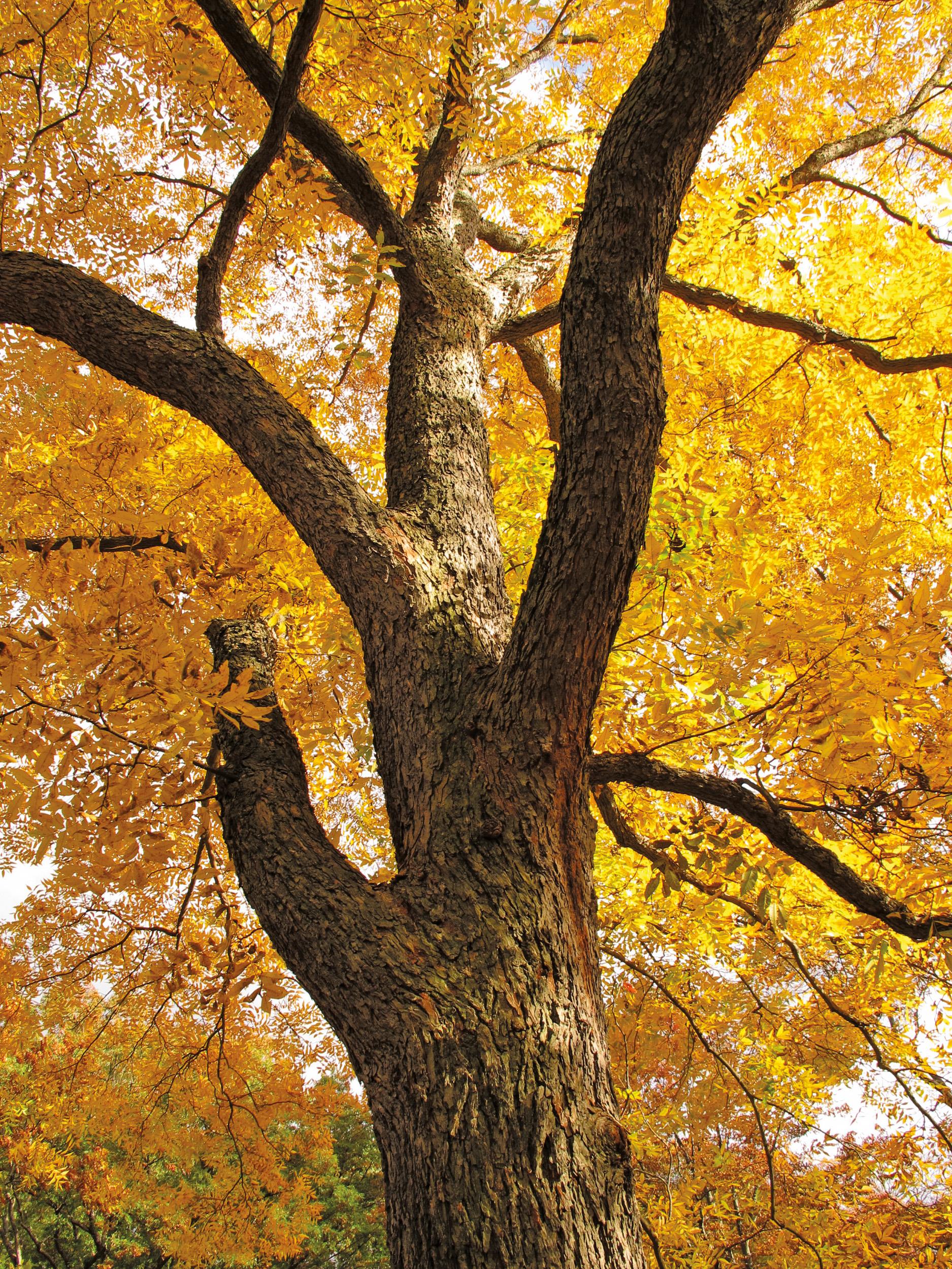 Pecan tree by Michael Dosmann