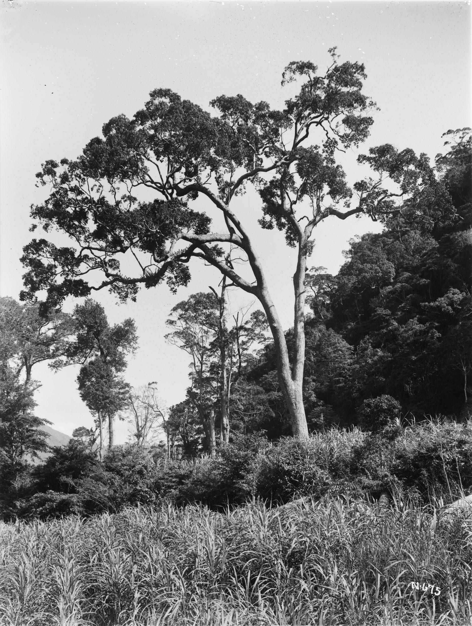 A camphor tree (Cinnamomum camphora) grows beside a sugarcane field near Horisha, Taiwan in this December 1918 photograph by Ernest Wilson.