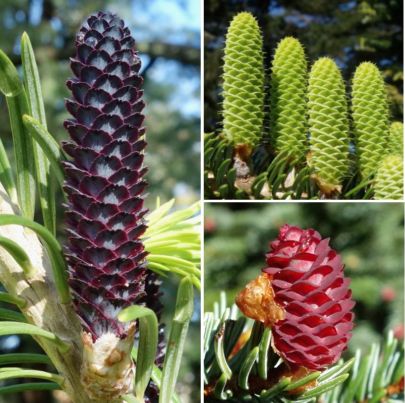 Spruce and fir cones Friedman