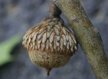 A color photo of a black oak acorn.